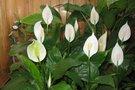 10 растений, которые принесут в ваш дом любовь ❤